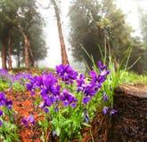 Tricolor Viola Στοκ Φωτογραφία