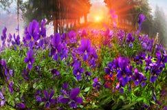 Tricolor Viola Στοκ φωτογραφία με δικαίωμα ελεύθερης χρήσης