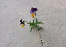 tricolor viola Royaltyfri Foto