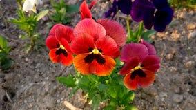 tricolor viola Royaltyfri Bild
