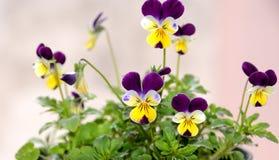 tricolor viola Royaltyfri Fotografi