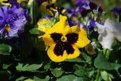 tricolor viola Fotografering för Bildbyråer