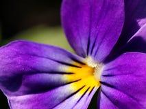 tricolor viola Arkivbild