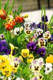 tricolor viola för katter Royaltyfri Foto