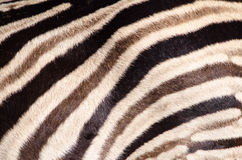 Tricolor Zebra stripes Royalty Free Stock Photo
