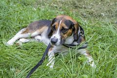 Beagle in the meadow. A Tricolore Beagle has made himself comfortable on a green meadow royalty free stock photos