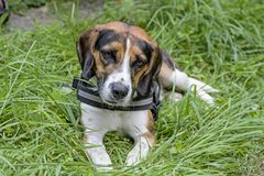 Beagle in the meadow. A Tricolore Beagle has made himself comfortable on a green meadow royalty free stock photography
