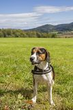 Beagle is sitting on a green meadow. A Tricolore Beagle has made himself comfortable on a green meadow stock images
