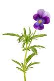 Tricolore pansé/della viola isolato su fondo bianco Fotografia Stock
