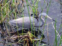 Tricolored三色苍鹭的白鹭属 库存照片