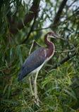 tricolored的苍鹭 免版税库存图片