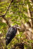 Tricolored苍鹭三色鸟的白鹭属 免版税库存照片