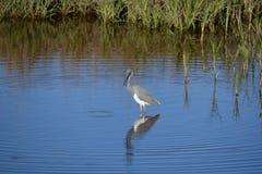 Tricolored苍鹭在河旁边停留繁忙的钓鱼在浅池塘 库存图片