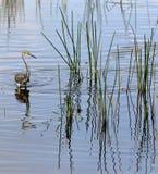 Tricolored苍鹭狩猎 库存图片