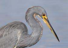 Tricolored苍鹭的特写镜头-圣彼德堡,佛罗里达 免版税图库摄影