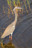 Tricolored苍鹭身分(三色的白鹭属) 库存图片