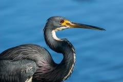 Tricolored苍鹭(三色的白鹭属)反对水背景 免版税库存图片