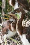 tricolored цапля цыпленоков Стоковая Фотография
