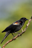tricolored blackbird Royaltyfria Bilder