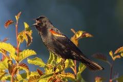 Tricolored Blackbird. Taken at Upper Klamath National Wildlife Refuge, Oregon Stock Photos