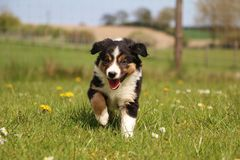 Tricolored border collie puppy in the garden. Sweet tricolord border collie puppy is walking in the garden stock images