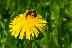 Tricolored Bumblebee. Collecting nectar from a yellow dandelion flower. Wetland Interpretive Centre, Upper Ferry, Newfoundland Stock Photo