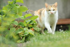 Tricolored cat Royalty Free Stock Photo
