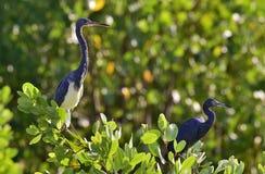 Tricolored czapla i błękitna mała czapla (Egretta tricolor) Zdjęcia Royalty Free