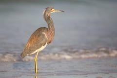 Tricolored czapla na linii brzegowej przy Estero laguną Zdjęcia Stock
