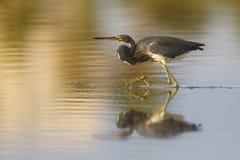Tricolored czapla podkrada się ryba w płytkim stawie - Estero Isla Fotografia Stock