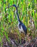 tricolored fågelheron Royaltyfri Bild