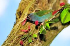 Tricolored Finch Papuzi ptak, Timor, Indonezja zdjęcie stock