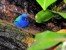 Tricolored Finch ptak zdjęcie royalty free