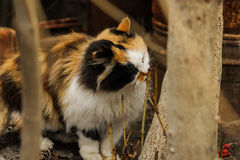 Tricolored fluffy cat sitting on the street Royalty Free Stock Image