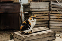 Tricolored fluffy cat sitting on the street Stock Image
