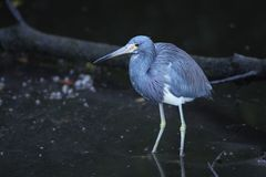 Tricolored Heron Royalty Free Stock Photography