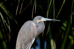Tricolored Heron Stock Photography