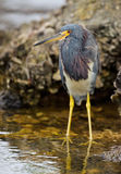 Tricolored heron. A tricoloured heron waits patiently for his next meal Royalty Free Stock Photo