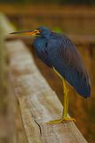 Tricolored Heron. A medium-sized, slender heron of the southeastern United States, the Tricolored Heron was formerly known as the Louisiana Heron stock photo