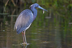 Tricolored Heron. (Egretta tricolor) with fish in its beak Royalty Free Stock Image