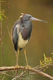 Tricolored Heron Royalty Free Stock Images