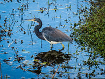 Tricolored Heron. (Egretta tricolor) is a slender heron native to the southeastern part of the United States.  Here it is seen wading in a marshy swampland as Royalty Free Stock Photo