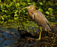 Tricolored Heron. Adult Tricolored Heron (Egretta tricolor) shot at Brazos Bend State Park near Houston, Texas Royalty Free Stock Image
