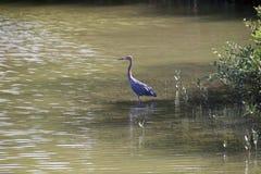 tricolored heron Royaltyfri Bild