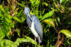 tricolored heron Royaltyfria Bilder