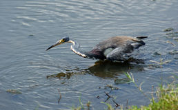Tricolored Heron Stock Photos