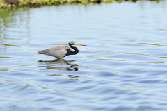 Tricolored Heron in big ripples Stock Photography