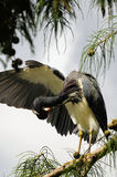 Tricolored Heron Bird Preening Royalty Free Stock Images