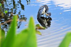 Tricolored heron bird preening Royalty Free Stock Photography