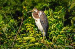 Tricolored heron on a branch. Tricolored heron on a branch, 1 Royalty Free Stock Images